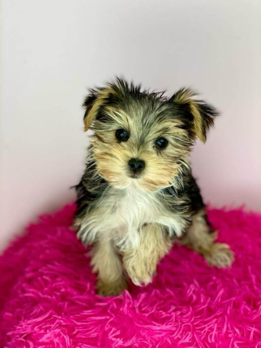 Morkie Male Puppy for adoption