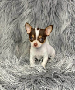 teacup chihuahua female