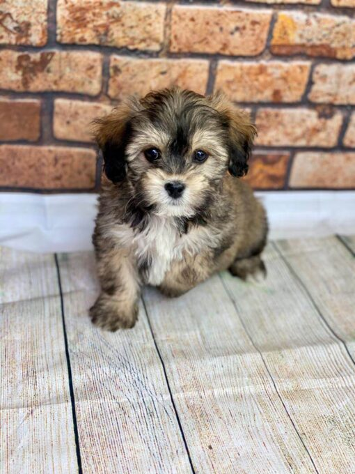 shihpoo Male puppy for sale