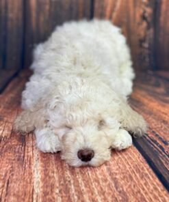 Goldendoodle Female puppy for sale