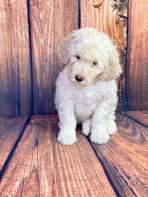 Goldendoodle Male puppy for sale