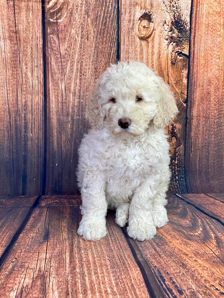 F2b standard size Male Goldendoodle-ON HOLD near to you in Northwest Territories Canada