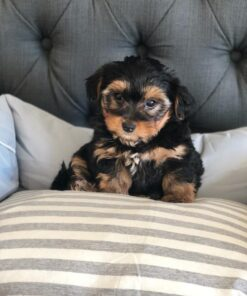 Morkie male for adoption