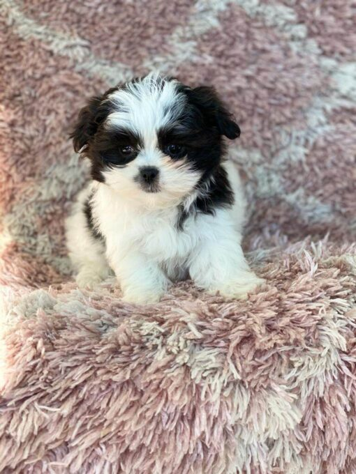 Malshi female puppy for sale