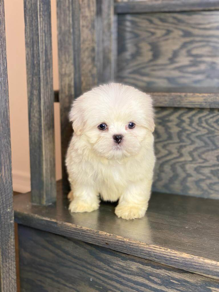 Malshi Male Puppy-NOT AVAILABLE near to you in Canada ...
