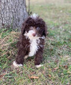 Male maltipoo puppy for adoption