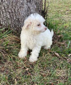 Male Maltipoo puppy for sale