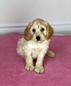 Cockapoo male for sale