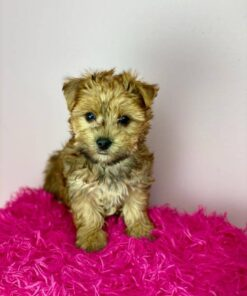Morkie Male puppies