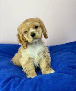 Cocker Spaniel Female puppy for sale