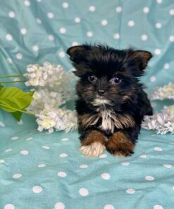 Teacup Morkie male Puppy for sale