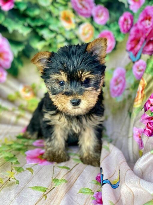 male Yorkie Puppy for sale