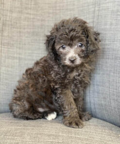 Toy Poodle male puppy for sale