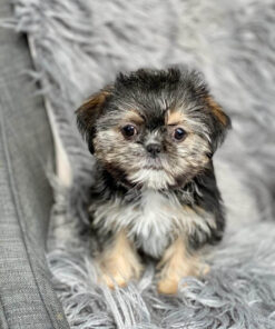 Female Shih tzu puppy for sale