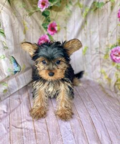 Female Toy Yorkie Puppy for sale