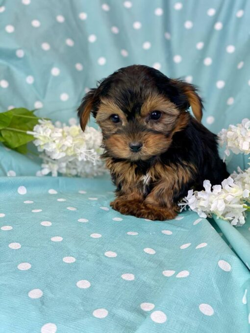 Morkie female puppy for sale
