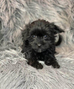 Morkie Male puppy for sale