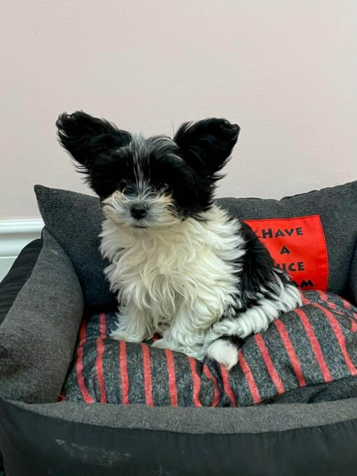 Teacup Morkie Female Puppy