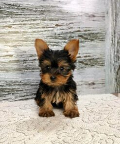 Teacup Yorkie Male Puppy for sale