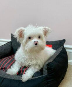 Teacup Morkie Male Puppy