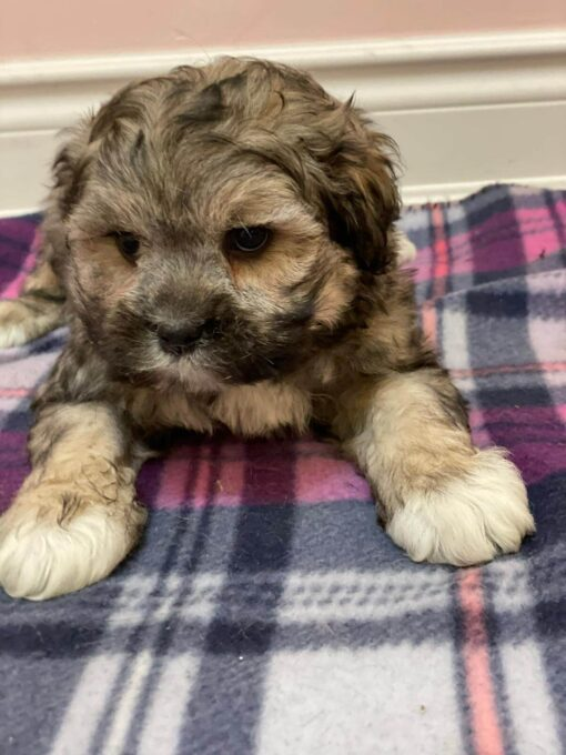 Male Shipoo Puppy for sale