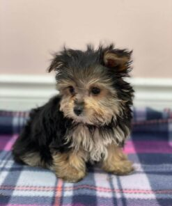 Teacup Morkie Female Puppy for sale