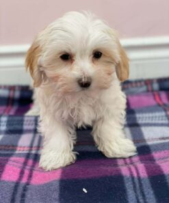 Tiny Toy Morkie Female