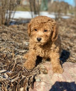 Female Toy Poodle for sale