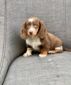 Male Miniature Dachshund Puppy for sale