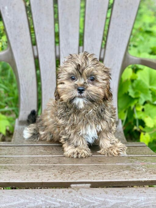 Male Shorkie Puppy for sale
