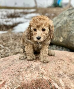 Male Toy Puddle Puppy for sale