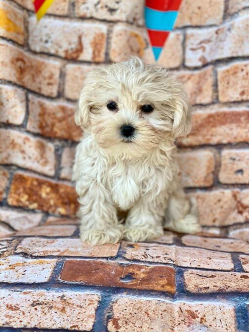 Female Malshi Puppy for sale
