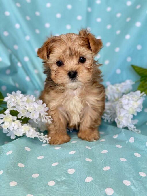 Female Morkie Puppy for sale