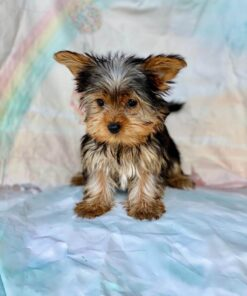 Female Teacuo Morkie Puppy for sale