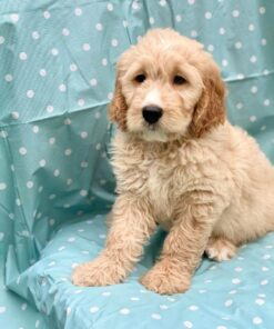 Male Goodendoodle puppy for sale