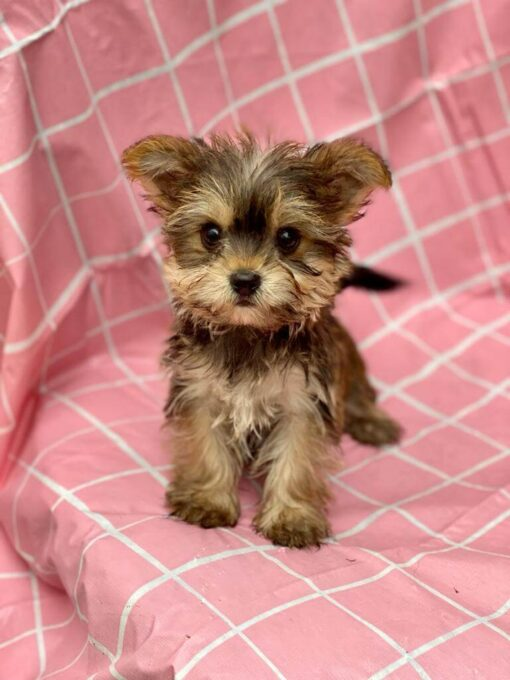 Male Teacup Morkie Puppy for sale