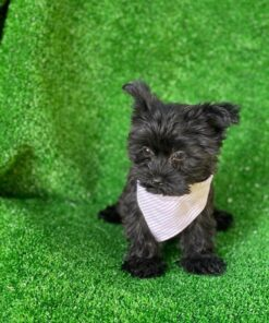 Female Teacup Morkie Puppy for sale