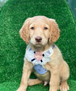 Male Goldendoodle puppy for sale