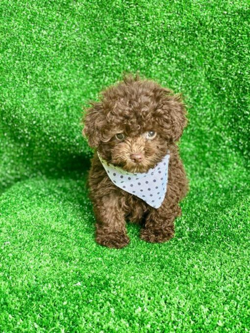 Male Toy poodle Puppy for sale