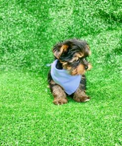 Teacup Male Yorkie Puppy for sale