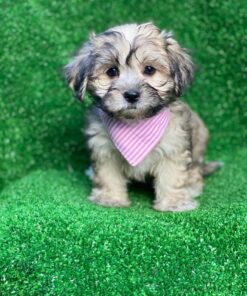 Morkie puppy for sale in Toronto