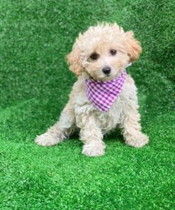 Female Toy poodle puppy for sale