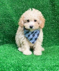 Male Toy Poodle for sale
