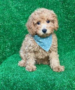 Toy Poodle puppy for sale in Toronto