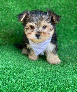 Male Morkie Puppy for sale