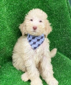 Male Standard Goldendoodle puppy for sale